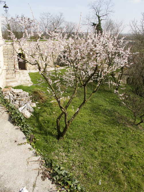 spilimbergo, cherry tree