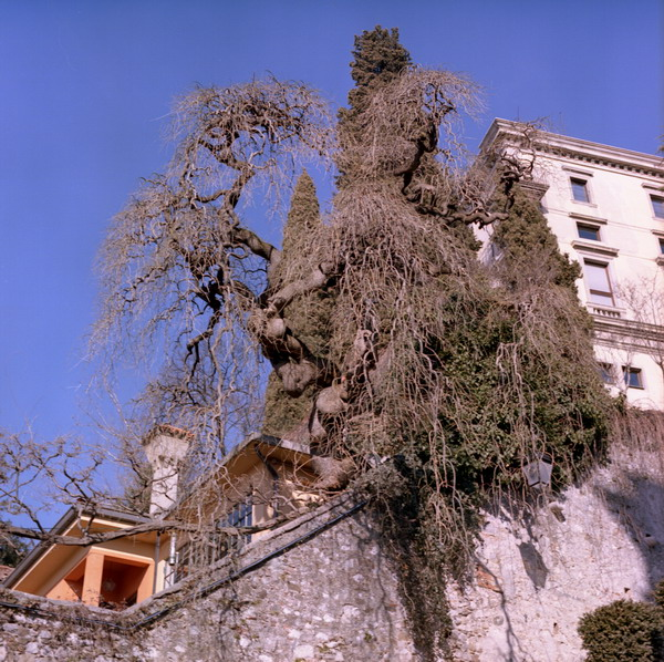 udine, tree in the castle
